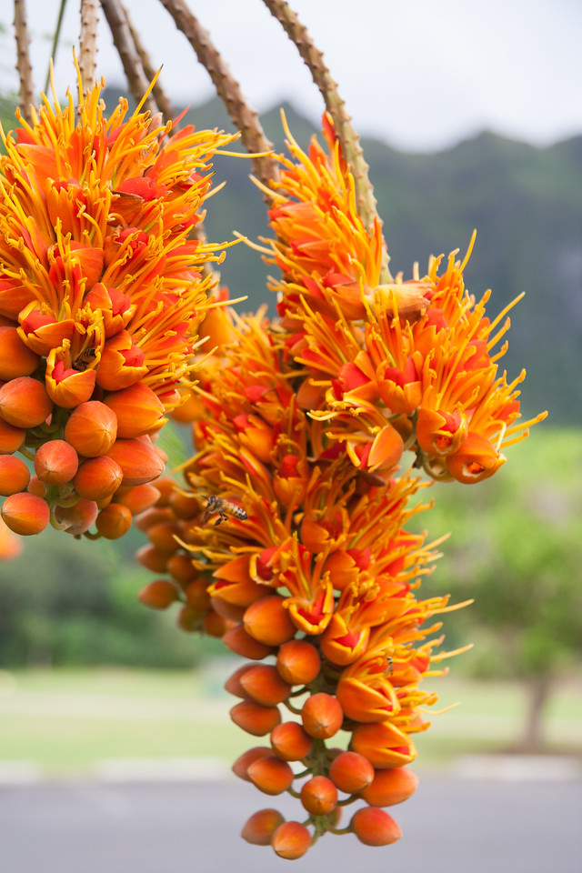 Fire tree, Colvillea racemosa, a cultivated tree in Hawaii and a naturalized tree in Guam.