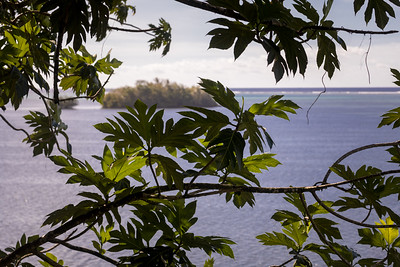 Meiffai, Artocarpus altilis, a nonnative breadfruit of Micronesia and other Pacific Islands, growing along Walung coast, Kosrae, FSM