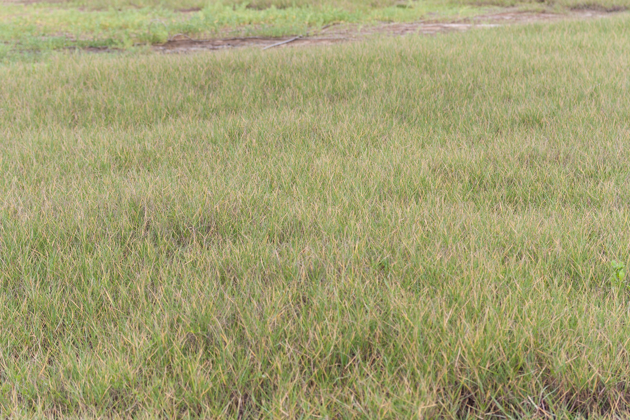 Bermuda grass, Cynodon dactylon, a nonnative grass cultivated and naturalized in Hawaii.