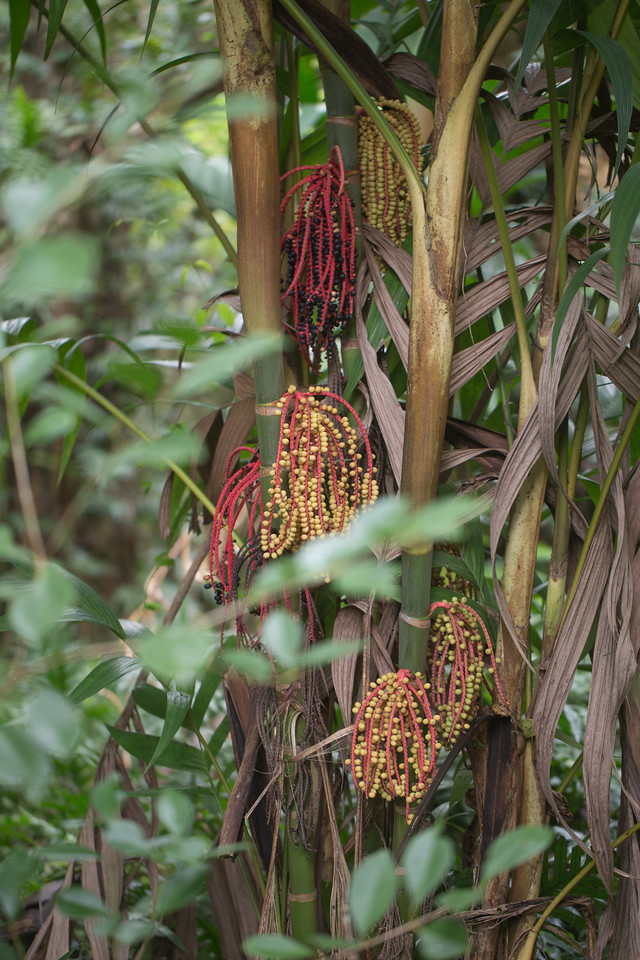 Kuhl's palm, Pinanga coronata, a nonnative palm of Hawai`i