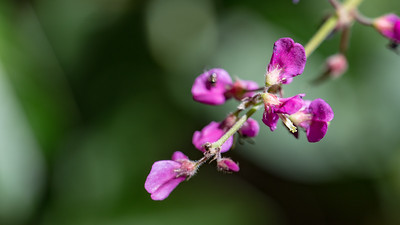 Spanish clover, Desmodium sandwicense, a nonnative weed of Hawaii
