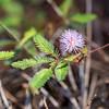 Sensitive plant, Mimusa pudica var. unijuga, a nonnative plant of Hawai`i