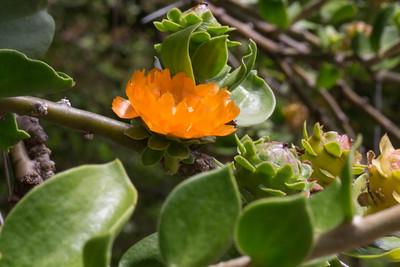 Arbol Del Matrimonio, Pereskia lychnidiflora, a cultivated cactus of Hawai`i