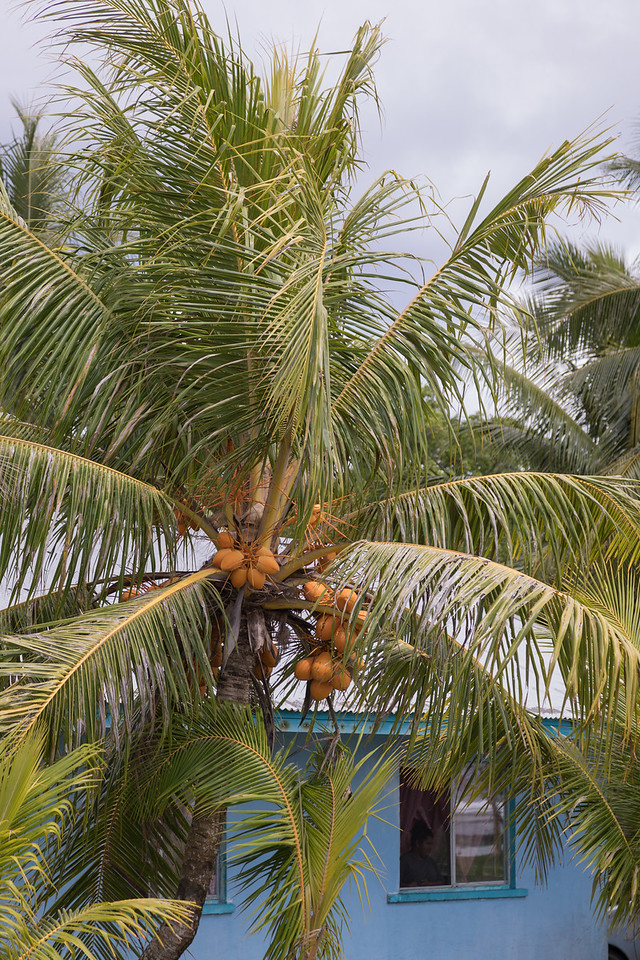 Coconut palm, Cocos nucifera, a nonnative palm of Micronesia and other Pacific islands, growing at Pacific Treelodge Resort, Kosrae, FSM