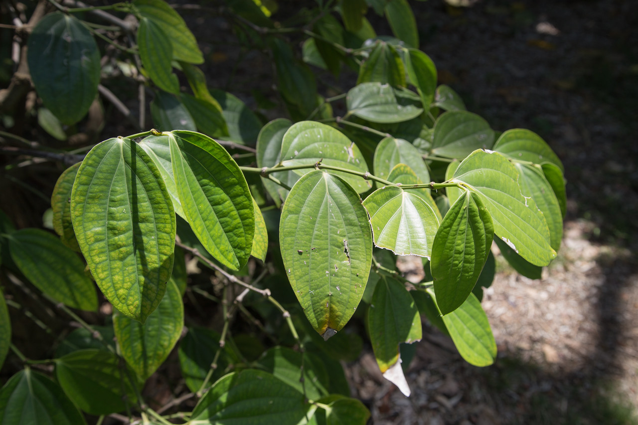 Black pepper, Piper nigrum, a cultivated spice in Hawai`i