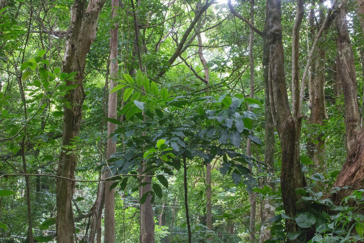 Queensland maple, Flinderia brayleyana, a nonnative tree of Hawai`i