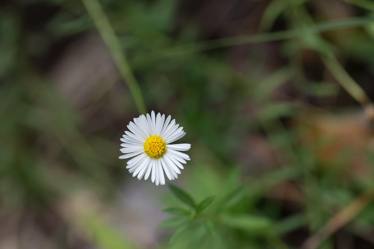 Daisy fleabane, Erigeron karvinskianus, a nonnative weed of Hawai`i.