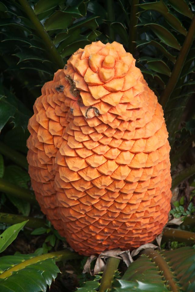 Encephalartos ferox, a cultivated cycad in Hawaii, this one at Ho`omaluhia Botanical Garden, Kene`ohe, O`ahu, Hawai`i