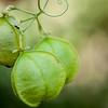 Pōniu, Cardiospermum halicacabum, a nonnative or possibly indigenous  vine in Hawaii and a nonnative vine in Guam and CNMI.