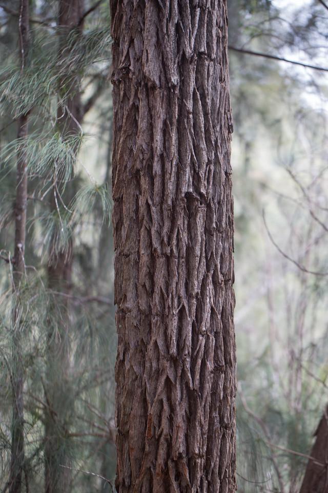 Swamp mahagony, Eucalyptus robusta, a nonnative tree in Hawai`i