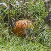 Pumpkin, Cucurbita pepo, on cropland on Hawaii Island, Hawaii.