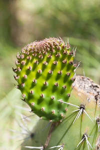 Panini, Opuntia ficus-indica, an invaise cactus in Hawai`i