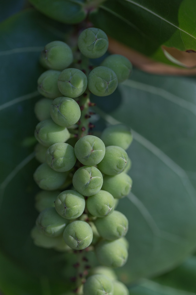 Sea grape, Coccoloba uvifera, a nonnative plant of Hawaii.