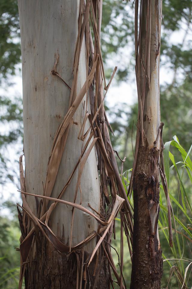 Blue gum, Eucalyptus globulus ssp. globulus, a nonnative tree in Hawai`i