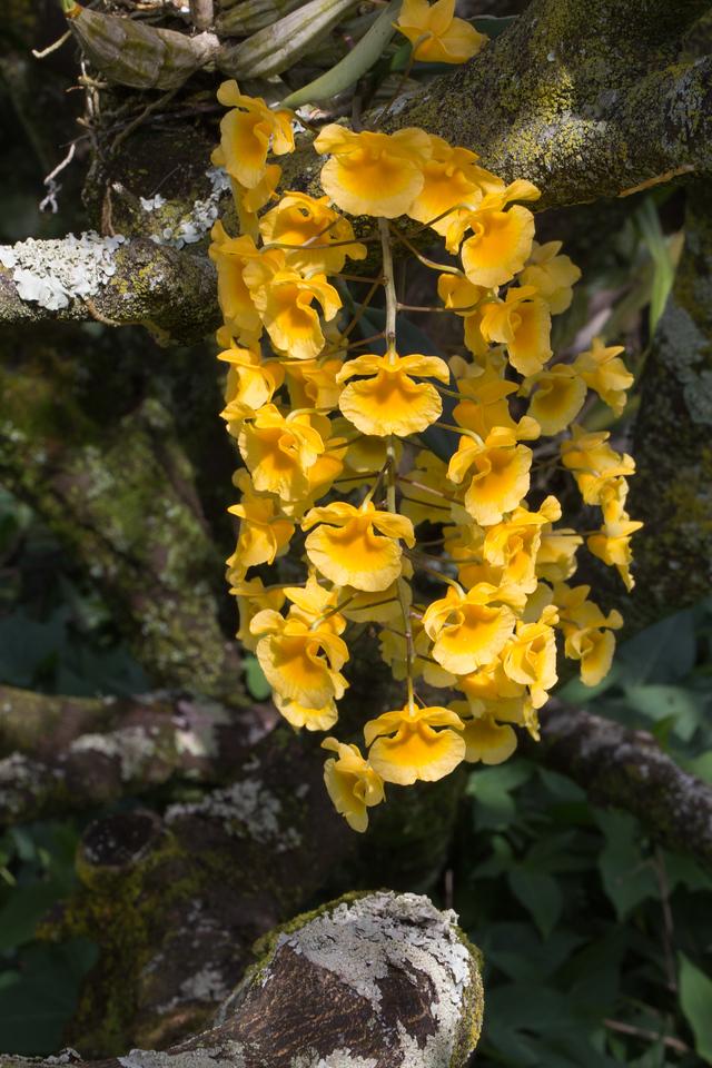 Dendrobium aggregatum, a cultivated orchid of Hawai`i
