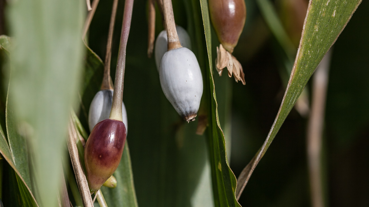 Job's tears, Coix lachryma-jobi, a nonnative invasive grass of Hawaii, Guam and CNMI.