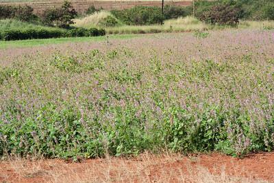 Tick trefoil, Desmodium intortum, a nonnative plant of Hawaii