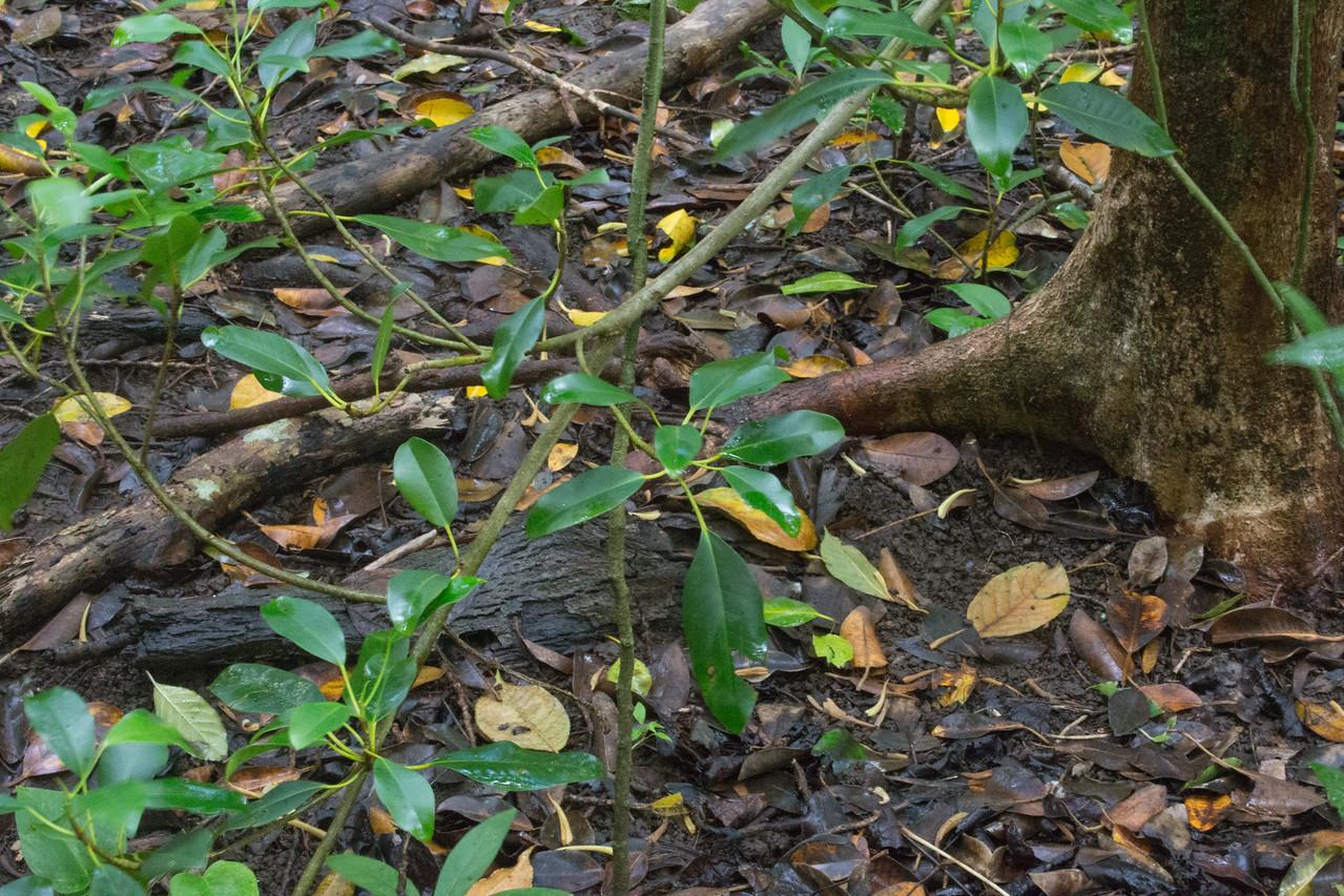 Chinese banyan, Ficus microcarpa, a nonnative tree in Hawai`i