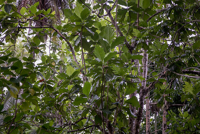 Meiffai, Artocarpus altilis, a nonnative breadfruit of Micronesia and other Pacific Islands, growing at Lelu Ruins Historic Site, Lelu, Kosrae, FSM