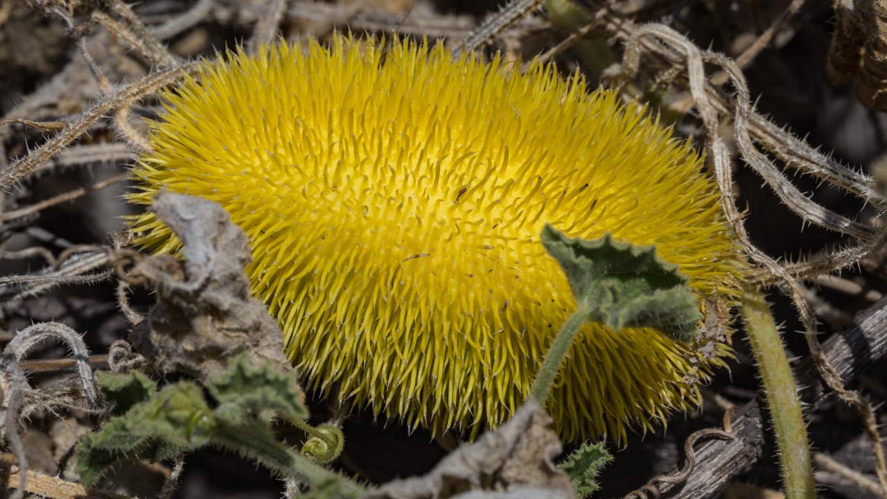 Hedgehog gourd, Cucumis dipsaceus, a nonnative weed of Hawai`i