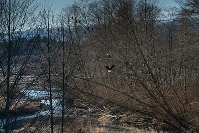 Nooksack River Eagles
