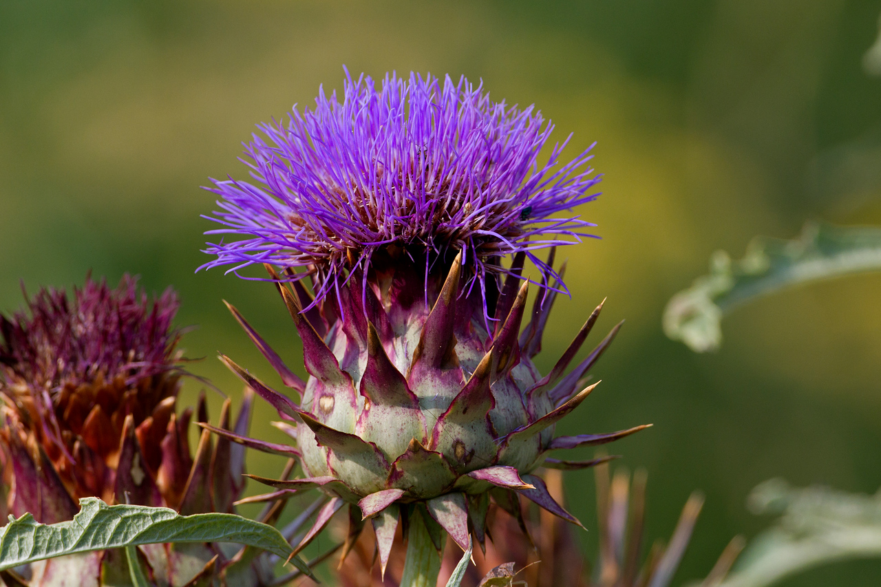 Thistle - photo taken on June 26th.....  (see next photo)