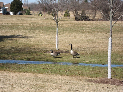 Normandy Geese