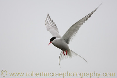 Arctic Tern Angel
