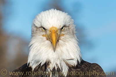 Bald Eagle Portrait II