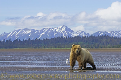 Coastal Brown Bear Landscape