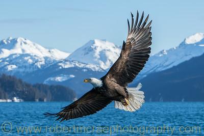 Scenic Bald Eagle