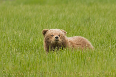 Coastal Brown Bear Cub