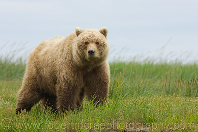 Coastal Brown Bear Stare