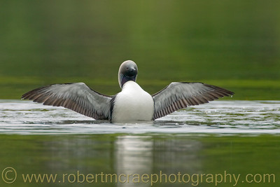 Pacific Loon Stretch