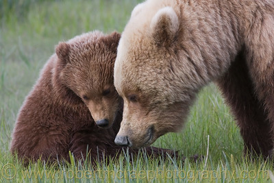 Coastal Brown Bear and Cub