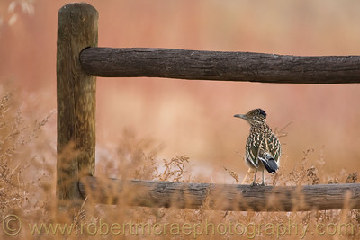 """Roadrunner on the Fence"""