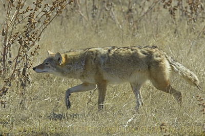 """The Stalking Coyote"""