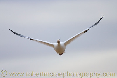 """Snow Goose in Fflight"""