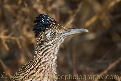 """Roadrunner Portrait"""