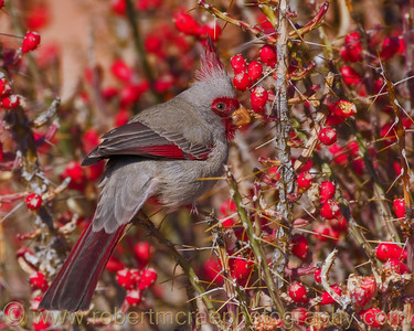 """Pyrrhuloxia on Christmas Cholla""' -Award Winner  This photograph was also obtained by Friends of the Bosque del Apache National Wildlife Refuge for possible future inclusion in a planned  Refuge field guide."