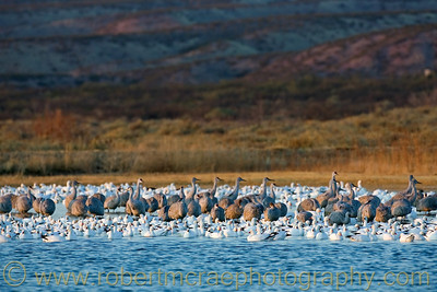 """Sandhill Cranes and Snow Geese"""