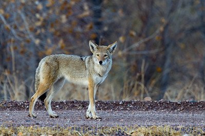"""A Young Coyote"""