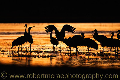 """Sandhill Crane Sunset"""