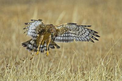 """Female Northern Harrier Hunting"" - Award Winner"