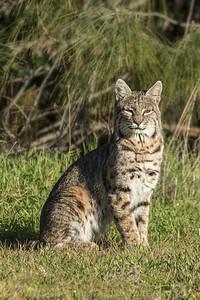 Bobcat Soaking-up the Sun