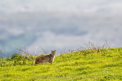 Bobcat on a Ridge