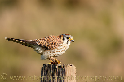 Kestrel on a Post