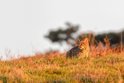 Bobcat in Golden Light