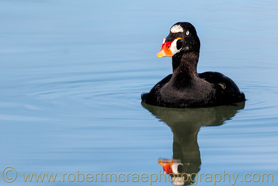 Surf Scoter at Eureka