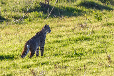 Searching Bobcat